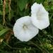 Calystegia silvatica - Photo (c) clemensoe, algunos derechos reservados (CC BY-NC)