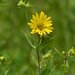 Prairie Rosinweed - Photo (c) Mark Kluge, some rights reserved (CC BY-NC-ND)