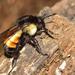 Bombus ephippiatus - Photo (c) Ricardo Arredondo T., alguns direitos reservados (CC BY-NC)
