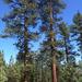 Pinus jeffreyi - Photo (c) Ken-ichi Ueda, μερικά δικαιώματα διατηρούνται (CC BY)