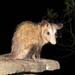 Didelphis marsupialis - Photo (c) rupestreherbert,  זכויות יוצרים חלקיות (CC BY-NC)