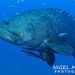 Giant Grouper - Photo (c) Nigel Marsh, some rights reserved (CC BY-NC)