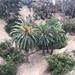 Palma Canaria - Photo (c) nmg76, algunos derechos reservados (CC BY-NC)