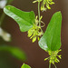 Smilax auriculata - Photo (c) Mary Keim,  זכויות יוצרים חלקיות (CC BY-NC-SA)