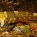 Bathygobius meggitti - Photo (c) H.T.Cheng, osa oikeuksista pidätetään (CC BY-NC)