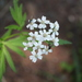 Large-leaved Sneezewort - Photo (c) Fabien Piednoir, some rights reserved (CC BY-SA)