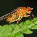 Dryomyza - Photo (c) Bruce Marlin,  זכויות יוצרים חלקיות (CC BY-SA)