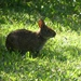 Marsh Rabbit - Photo (c) Laura Kimberly, some rights reserved (CC BY-NC)