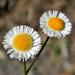 Erigeron quercifolius - Photo (c) Bob Peterson, μερικά δικαιώματα διατηρούνται (CC BY-SA)
