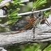 Platypedia bernardinoensis - Photo (c) James Bailey, algunos derechos reservados (CC BY-NC)