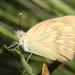 Mariposa Blanca Gigante - Photo (c) Bill Lucas, algunos derechos reservados (CC BY-NC)