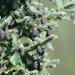 Picea mariana - Photo (c) Arthur Chapman, algunos derechos reservados (CC BY)
