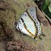Polyura - Photo (c) H.T.Cheng, algunos derechos reservados (CC BY-NC)
