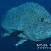Epinephelus cyanopodus - Photo (c) Nigel Marsh, alguns direitos reservados (CC BY-NC)