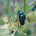 Cobalt Milkweed Beetle - Photo (c) Daniel Onea, some rights reserved (CC BY-NC)