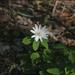 Anemonoides raddeana - Photo (c) Lee, seong-won,  זכויות יוצרים חלקיות (CC BY-NC)