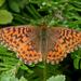 Boloria chariclea - Photo (c) Kent McFarland, algunos derechos reservados (CC BY-NC)