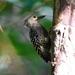 Meiglyptes tristis - Photo (c) Tan Kok Hui, algunos derechos reservados (CC BY-NC)