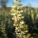 Sophora alopecuroides - Photo (c) Sergey Lednev, algunos derechos reservados (CC BY-NC)