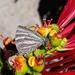 Brevianta celelata - Photo (c) Edson Gasperin, algunos derechos reservados (CC BY-NC)