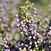 Erica manipuliflora - Photo (c) Tassos Sakoulis, osa oikeuksista pidätetään (CC BY-NC)