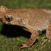Short-legged Horned Toad - Photo (c) Thomas Brown, some rights reserved (CC BY-NC), uploaded by kogia