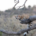 Ringtail - Photo (c) Lee Hoy, some rights reserved (CC BY-NC-ND)