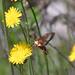 Hemaris gracilis - Photo (c) Mark Olivier,  זכויות יוצרים חלקיות (CC BY-NC)
