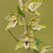 Broad-leafed Helleborine - Photo (c) Paul Cools, some rights reserved (CC BY-NC)