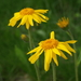 Arnica - Photo (c) Giorgio, some rights reserved (CC BY-NC-SA)