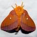 Anisota virginiensis - Photo (c) Lori Owenby, μερικά δικαιώματα διατηρούνται (CC BY-NC)