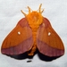 Anisota virginiensis - Photo (c) Lori Owenby, algunos derechos reservados (CC BY-NC)