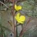 Ludwigia longifolia - Photo (c) eyeweed, algunos derechos reservados (CC BY-NC-ND)