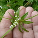 Galium rivale - Photo (c) Serge M. Appolonov, some rights reserved (CC BY-NC)