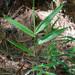 Arundinaria gigantea tecta - Photo (c) Suzanne Cadwell, algunos derechos reservados (CC BY-NC)