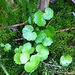 American Water-Pennywort - Photo (c) Bob Heitzman, some rights reserved (CC BY-NC)