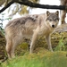 Gray Wolf - Photo (c) Brian Starzomski, some rights reserved (CC BY-NC)