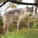 Lobo Gris - Photo (c) Brian Starzomski, algunos derechos reservados (CC BY-NC)