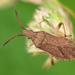 Ceraleptus lividus - Photo (c) Gilles San Martin, algunos derechos reservados (CC BY-SA)