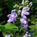 Scutellaria incana - Photo (c) Eleanor, algunos derechos reservados (CC BY-NC)