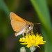 Thymelicus lineola - Photo (c) bob15noble, μερικά δικαιώματα διατηρούνται (CC BY-NC)