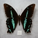 Papilio nireus pseudonireus - Photo (c) Dave Rogers, alguns direitos reservados (CC BY-NC)