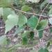 Betula litwinowii - Photo (c) mallaliev, algunos derechos reservados (CC BY-NC)