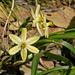 Triteleia ixioides scabra - Photo (c) Stan Shebs, alguns direitos reservados (CC BY-SA)