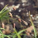 Carex angustisquama - Photo (c) Keita Watanabe, some rights reserved (CC BY-NC)