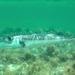 Pelagic Pufferfishes - Photo (c) whennaturepauls, some rights reserved (CC BY-NC)