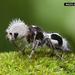 Hormiga Panda - Photo (c) chrislukhaup, algunos derechos reservados (CC BY-NC)