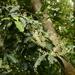 Itea parviflora - Photo (c) galanhsnu, algunos derechos reservados (CC BY-NC)