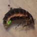 Iberian Glow-Worm - Photo (c) Prem Rose, some rights reserved (CC BY-NC)