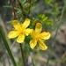 Hypericum galioides - Photo (c) Andy Newman, osa oikeuksista pidätetään (CC BY-NC)